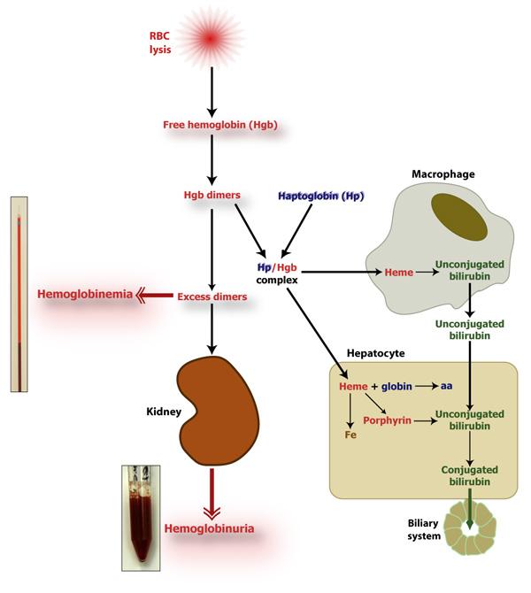 IV hemolysis