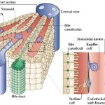 Liver structure