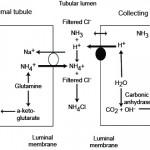 Renal ammoniagenesis