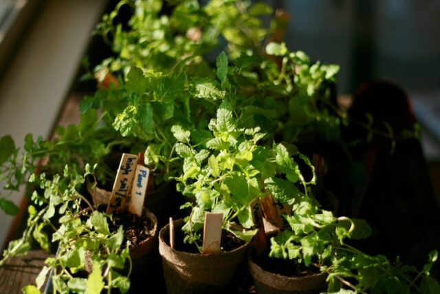 Houseplant herbs at a window with label
