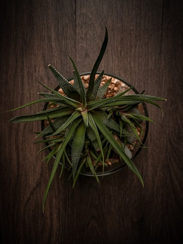 Wilting Aloe plant