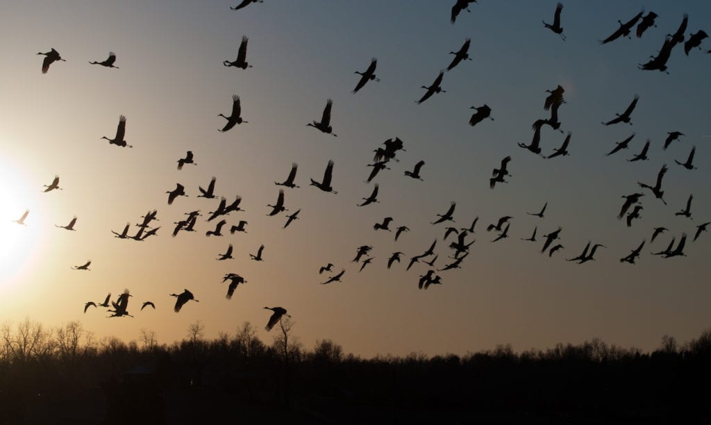 Migrating sandhill cranes are flying at dusk.