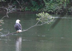 Bald eagle perched on branch overhanging Youghiogheny River