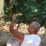 De wijnen van de Maremma streek