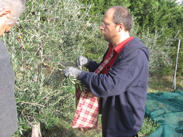 Handmatig plukken van de olijven