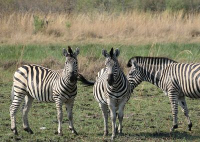 Botswana Adventure Safari Zebras Header