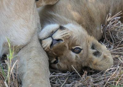 5x7 Africa baby lion