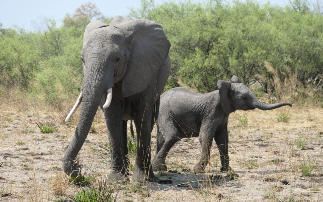 Protecting Botswana's Elephants: The Hunting Ban and Safaris