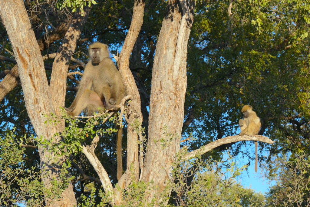 Baboons in a tree