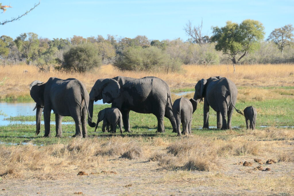 botswana animal safari elephants at airstrip