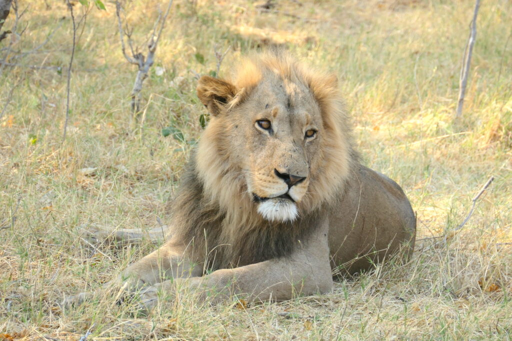 best animal sightings botswana male lion