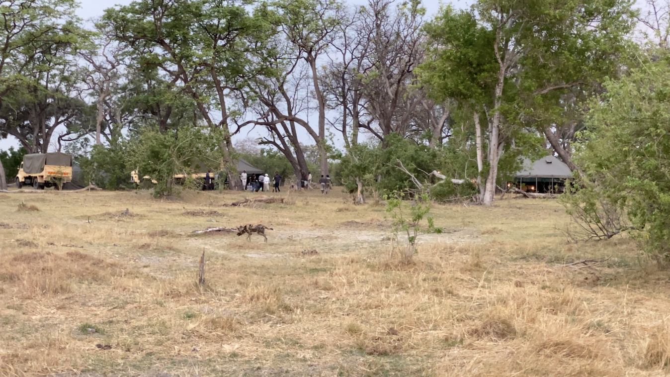 Wild Dogs at Brave Africa