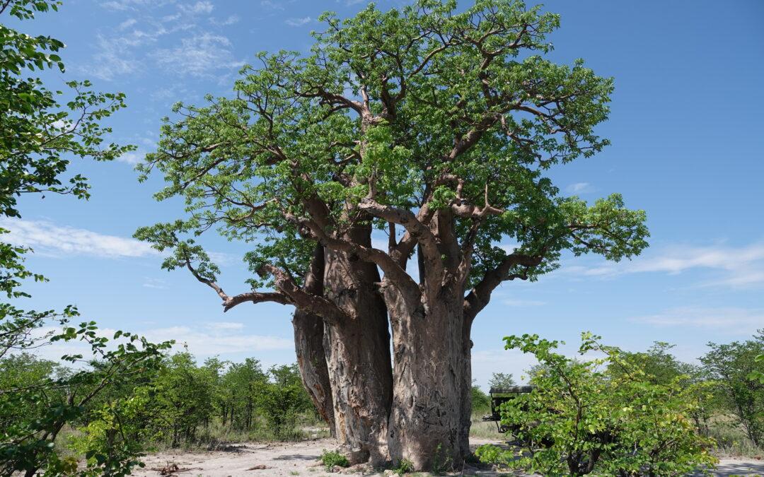 Brave Africa Visits Nxai Pan, Makgadikgadi, and the Kalahari Desert