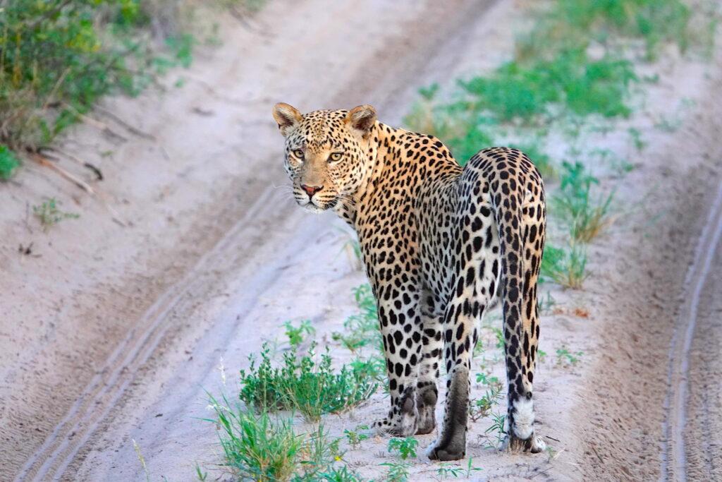 Botswana leopards