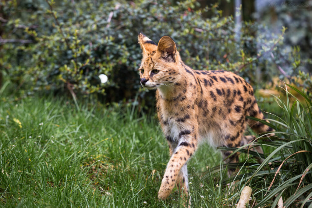 Animals of Botswana Serval Cat
