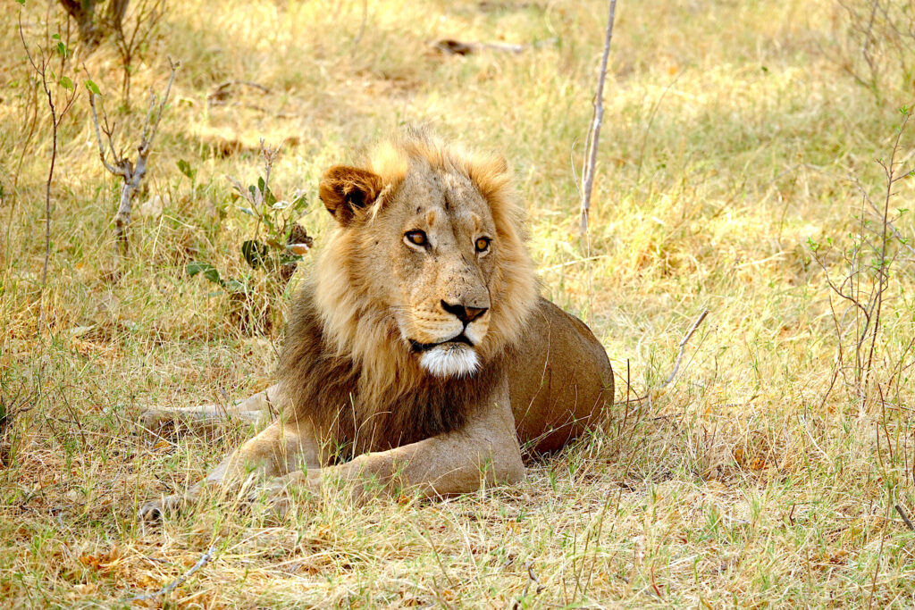 Botswana Cats - Lions