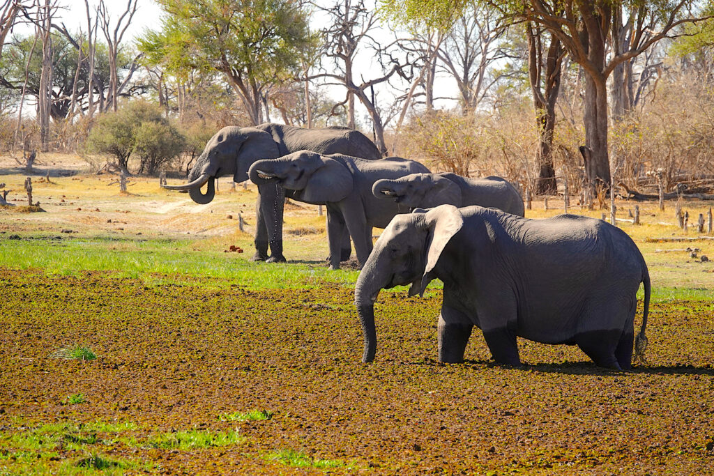 Botswana Elephants on Safari