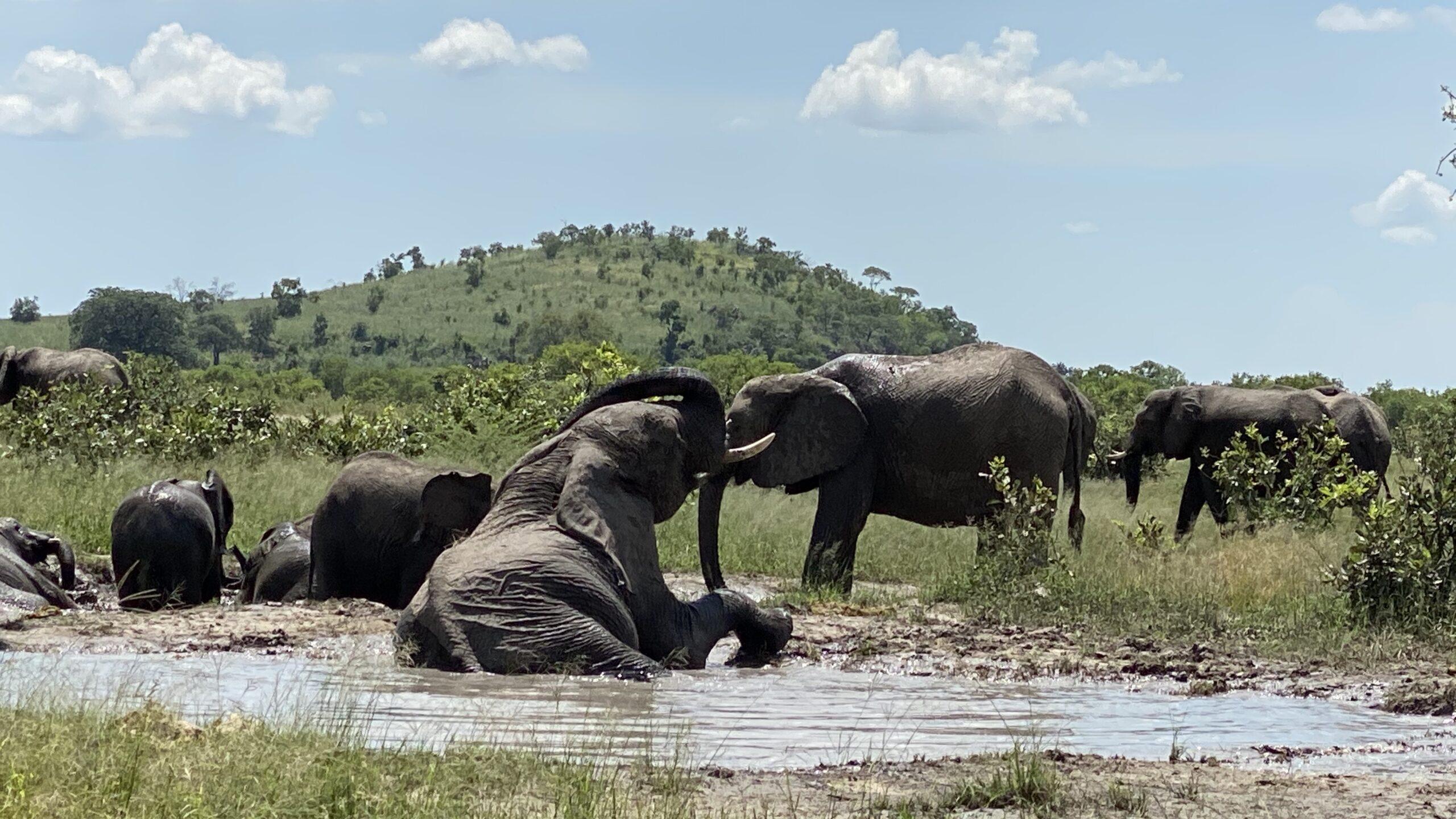Elephant Mudbath Botswana