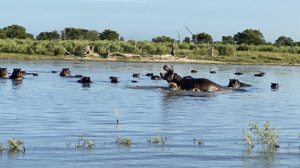 Hippo Family in Botswana