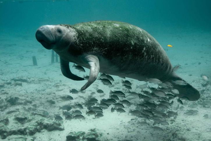 Manatees in Florida