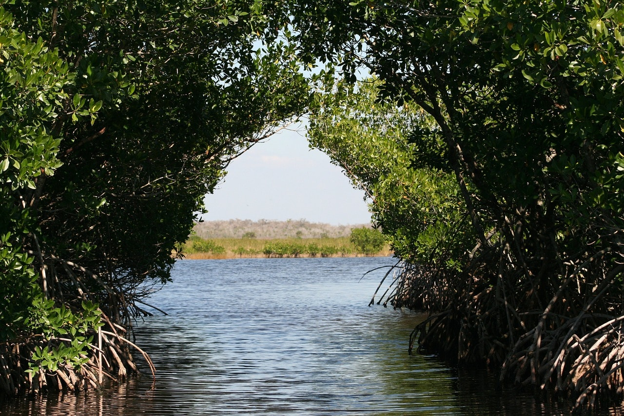 Florida Mangrove Trees
