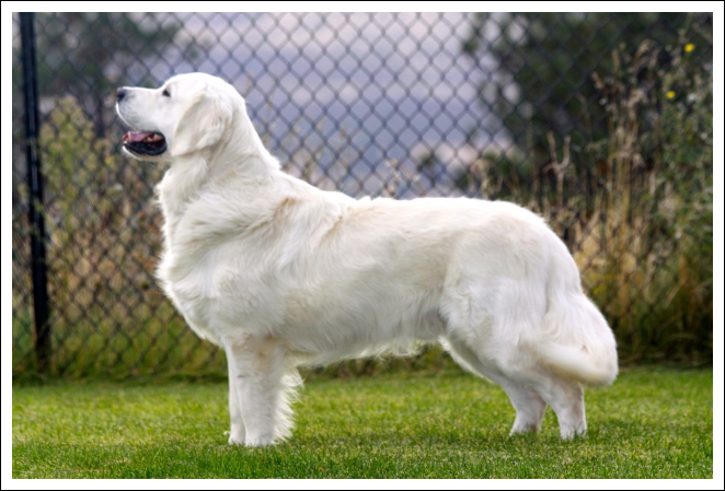 """""""Danny"""" from Sweet Cream Goldens"""